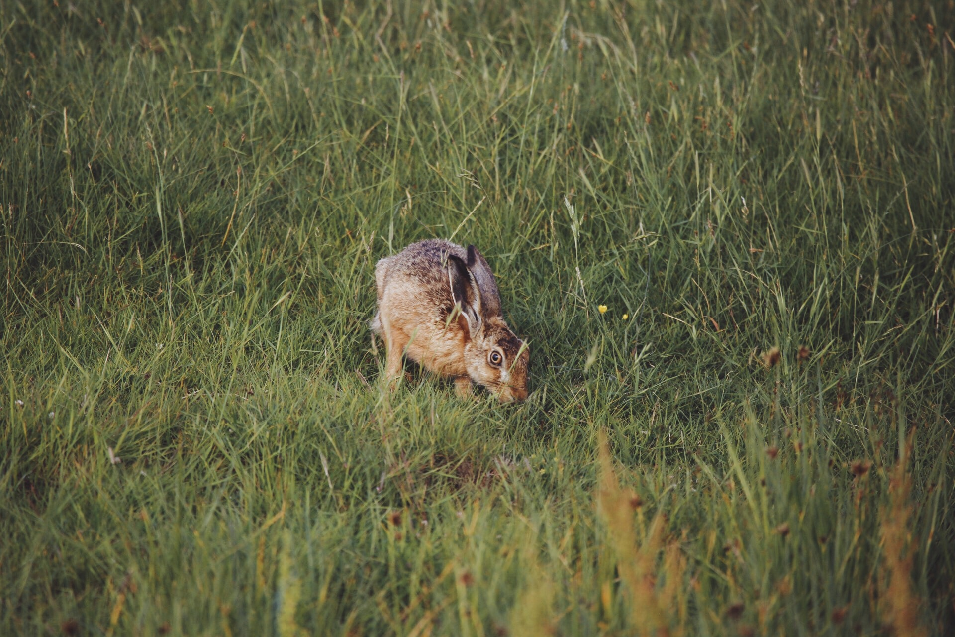 Hares at Elmley Nature Reserve, Sheppey
